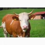 Комбикорм для дойных коров в Одессе, гранулированный от тм МаксимуМ