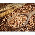 К У П Л Ю ЗЕРНОВЫЕ: пшеницу, кукурузу и др