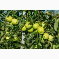 Продаж яблук Закарпаття врожай 2017 року