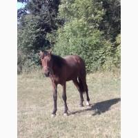 Продам коня-лошиця