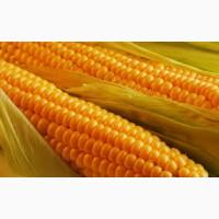 Продам семена кукурузы гибрид Солонянский 298 СВ