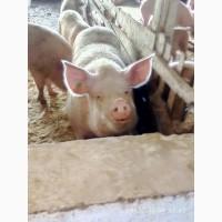 Продам поросят и откорм свиней