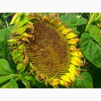 Семена подсолнечника американской компании Ньюсид (Nuseed)