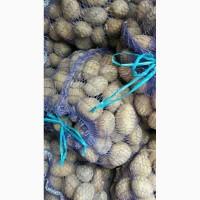 Продам картофель товарная