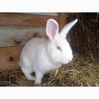 Продам самців і самиць кролів породи Термонська біла