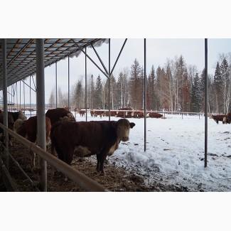Продам коров Бычков телят живым весом