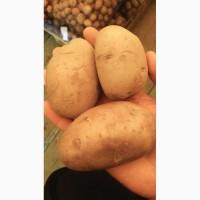 Продам картофель сорт Гала
