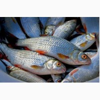 Продам рибу дніпровську