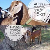 Продам англо-нубийских коз