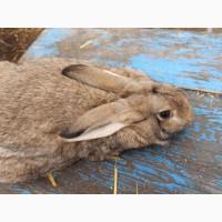 Продам кролика цвета агути