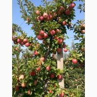 ПРОДАМ яблука, урожаю 2021 р., сорти: Голден, Чемпіон, Джонаголд ( Декоста )