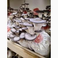 Продаємо оптом свіжі гриби гливи від виробника