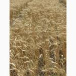 Семена пшеницы озимой - сорт Пошана. 1 репродукция