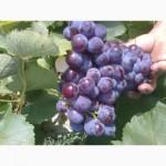 Продам виноград Изабелла розовая крупноплодная
