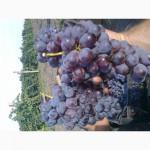 Виноград универсальный Розовая Изабелла крупноплодная