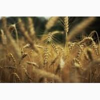 Купуємо пшеницю.Новий Урожай