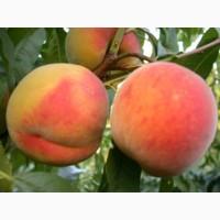 Продам персики с собственного сада ( до 20 т)