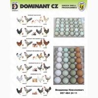 Инкубационные яйца мясо-яичных пород от элитных производителей