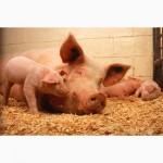 Продаем сперму для штучного осеменения свиней