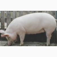 Продам свиней - Украинская Белая