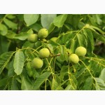 Саженцы ореха грецкого сорт кишиневский(сеянцы)