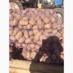 Продам картофель оптом. Большой объем