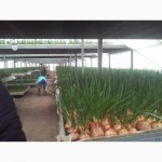 Продаємо зелену цибулю перо від виробника