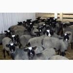 Романовские овцы бараны ярки