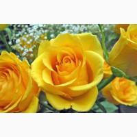 Розы - саженцы роз: чайно-гибридные, вьющиеся, плетистые и бордюрные