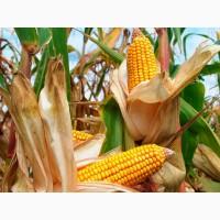 Насіння гібриду кукурудзи ГРАН 6 (ФАО 300)