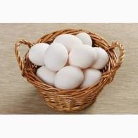 Инкубационное яйцо Леггорна