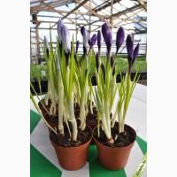 Цветы оптом крокус (широкий ассортимент) к 8 Марта