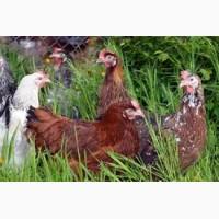 Предлагаем купить инкубационные яйца кур Ломан Вайт и Ломан Браун