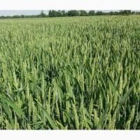 Пшеница озимая Леннокс