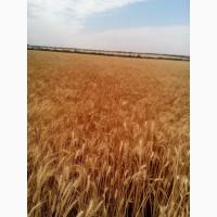 Новая озимая пшеница Кантата Одесская экстрасильная морозостойкая R2
