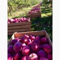 Продам яблука із власного саду без градоою і парші
