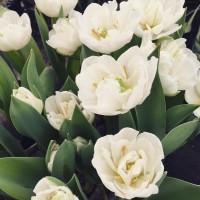 Тюльпаны к 8 марта, срез в день поставки