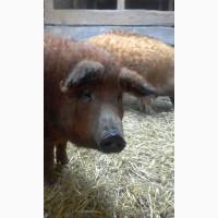 Ремонтные свинки покрытые Венгерская Мангалица возраст 12-13 месяцев ЦЕНА ДОГОВОРНАЯ