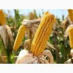 Пропонуємо насіневий матеріал кукурудзи