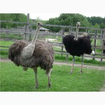 Продам семью страусов
