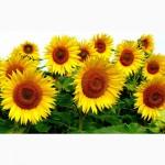 Посівний матеріал соняшника під гранстар НЕО(108-110дн) БОНД(105-110дн)