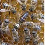 Продам матки карпатских пчел и пчелопакеты
