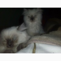 Продам котят гималайской персидской кошки