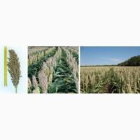 Семена гибрида зернового сорго Спринт W, Прайм, Даш Е