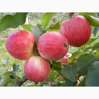 Продам яблоки Слава Победителю оптом. Урожай 2018 года