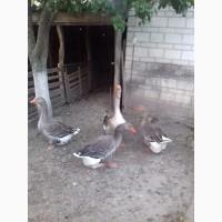 Продам гусей