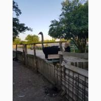 Продажа страуса