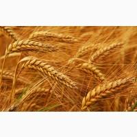 Семена озимой пшеницы Овидий Элита, урожайность 95-100 ц/га