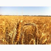 Закупаю зерновые дорого по всей Украине