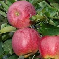 Продам яблука сорту Флоріна, врожай 2021